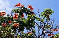 African tulip tree Stock Photos