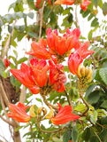 African tulip tree, Royalty Free Stock Images