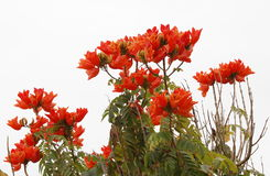 African tulip tree, stock photos