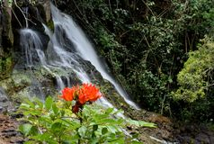 African Tulip Tree flower and waterfall in Kauai Hawaii. African tulip tree flower - spathodea campanulata - in front of a waterfall in Kauai Hawaii stock image