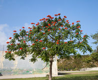 African Tuliptree Royalty Free Stock Images