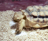 African turtle Stock Photos