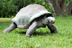 African turtle in grass Stock Image
