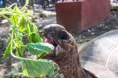 African turtle with opened mouth near green plant. In a park, close up Stock Image