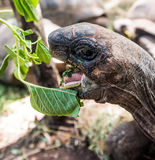 African turtle with opened mouth near green plant. In a park, close up Royalty Free Stock Photos