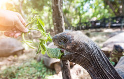 African turtle with opened mouth near green plant. In a park, close up Royalty Free Stock Photo
