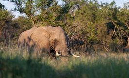 African Tusks Royalty Free Stock Images