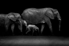 African Tusks Royalty Free Stock Photos