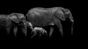 African Tusks Stock Images