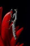African Twig Mantis on a Coral Flower. An African Twig Mantis on a Coral Flower Stock Photography