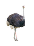 African two-toed ostrich cutout Royalty Free Stock Photos