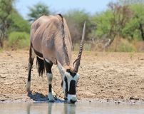 African Unicorn - Oryx Gazelle Stock Photography