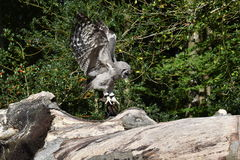 African Verreaux eagle owl Royalty Free Stock Image