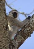 African vervet monkey Stock Images