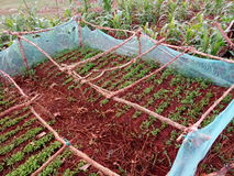 African village chilli nursery bed. A chilli farm nursery bed in Kabat village, Tegeres  sub county in Kapchorwa district Royalty Free Stock Photo