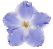 3 african viole Royaltyfria Foton