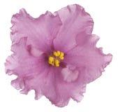 3 african viole Стоковые Изображения