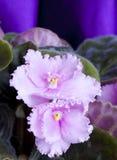 3 african viole Arkivfoto