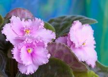 3 african viole 免版税库存照片