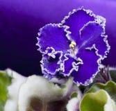 3 african viole Royaltyfria Bilder