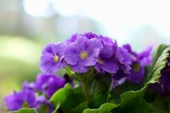 3 african viole στοκ φωτογραφία με δικαίωμα ελεύθερης χρήσης