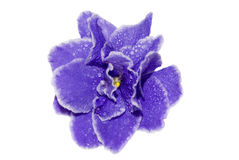 3 african viole 免版税库存图片