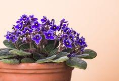 3 african viole Arkivfoton