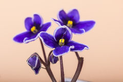 3 african viole Royaltyfri Bild