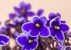 3 african viole Стоковое Изображение