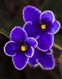 3 african viole Royaltyfri Foto