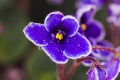 3 african viole 库存图片