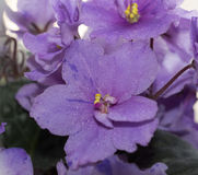 3 african viole 图库摄影