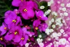 3 african viole Στοκ Εικόνες