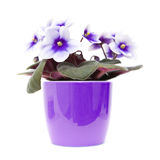 African violet. With dark purple to white variegation in bright purple pot, isolated on white Stock Photography