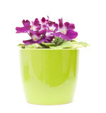 African violet Royalty Free Stock Photos