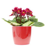 African violet. Dark red african violet in color-coordinated pot; isolated on white Royalty Free Stock Images
