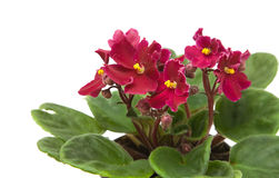 African violet Royalty Free Stock Images