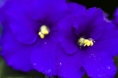African violet. In small pot Stock Photos