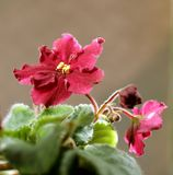 African violet. Image about flower - African violet Stock Photo