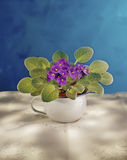 African Violet. Plant of African Violet in a pot Stock Photography