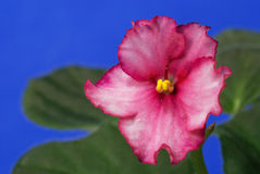 African violet Stock Photography
