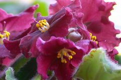 African violet #5. Macro of African violet Stock Photo