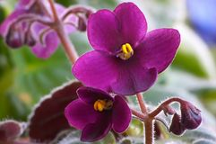 African Violet. Single African Violet Royalty Free Stock Photos