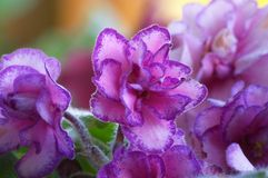 African Violet. Double African Violet Stock Photos