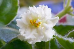 African violet #7. Macro of African white diouble violet Stock Photography