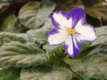 African Violet Flower. Single African Violet Flower Royalty Free Stock Photography