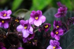 An african violet flower in a beautiful tropical garden. An african violet flower also known as the Saintpaulias, in a beautiful tropical garden Stock Images