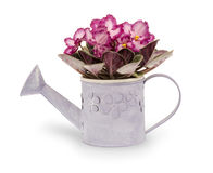 African violet flower (saintpolia) in pot isolated. Violet flower in pot isolated on the white background Royalty Free Stock Photography