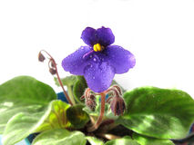 African violet on the isolated background. Leaves, petals, buds and drops of water. African violet on the isolated white background. Leaves, petals, buds and Royalty Free Stock Images