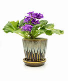 African Violet isolated on white background Stock Photography